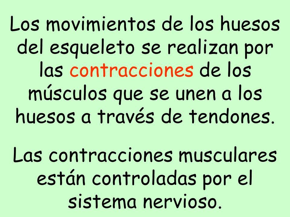 Los movimientos de los huesos del esqueleto se realizan por las contracciones de los músculos que se unen a los huesos a través de tendones.