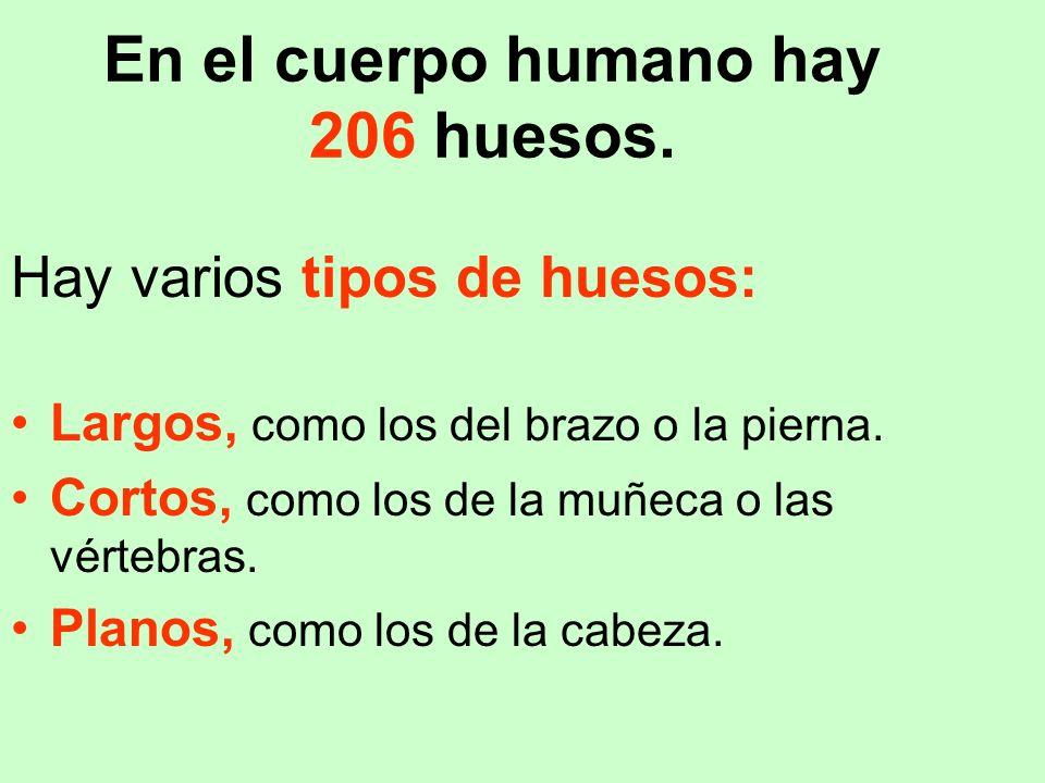 En el cuerpo humano hay 206 huesos.
