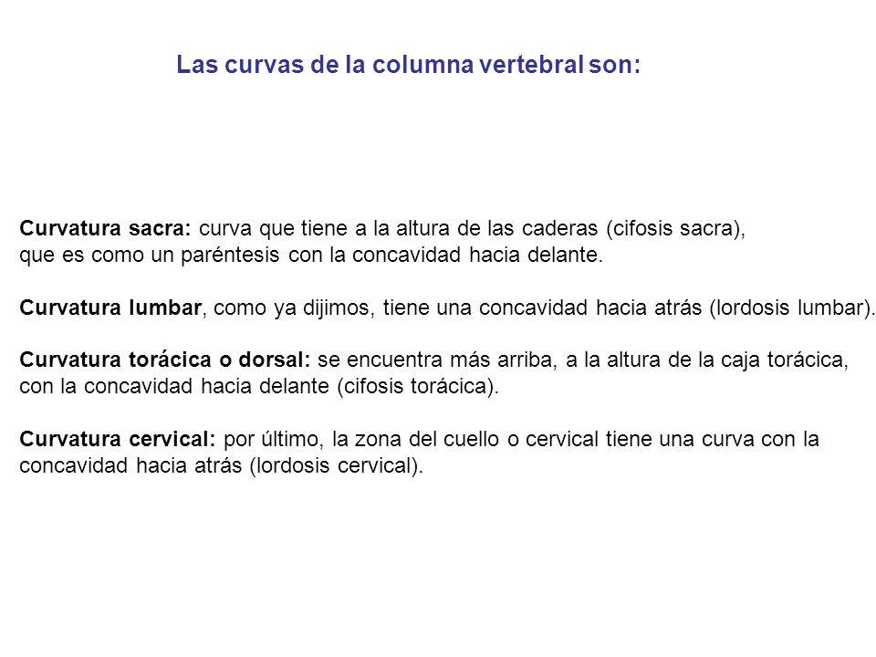 Las curvas de la columna vertebral son: