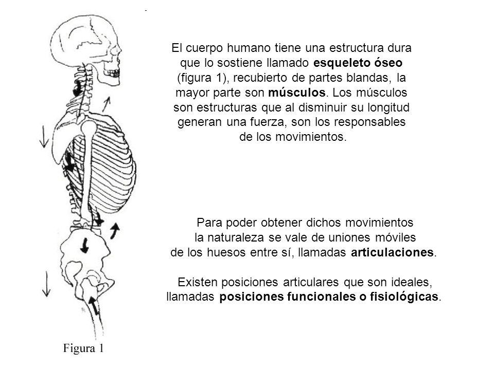 El cuerpo humano tiene una estructura dura