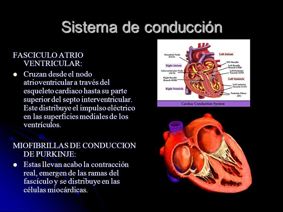 Sistema de conducción FASCICULO ATRIO VENTRICULAR: