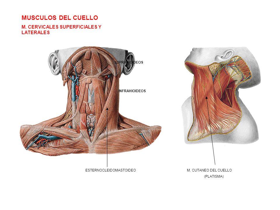 MUSCULOS DEL CUELLO M. CERVICALES SUPERFICIALES Y LATERALES