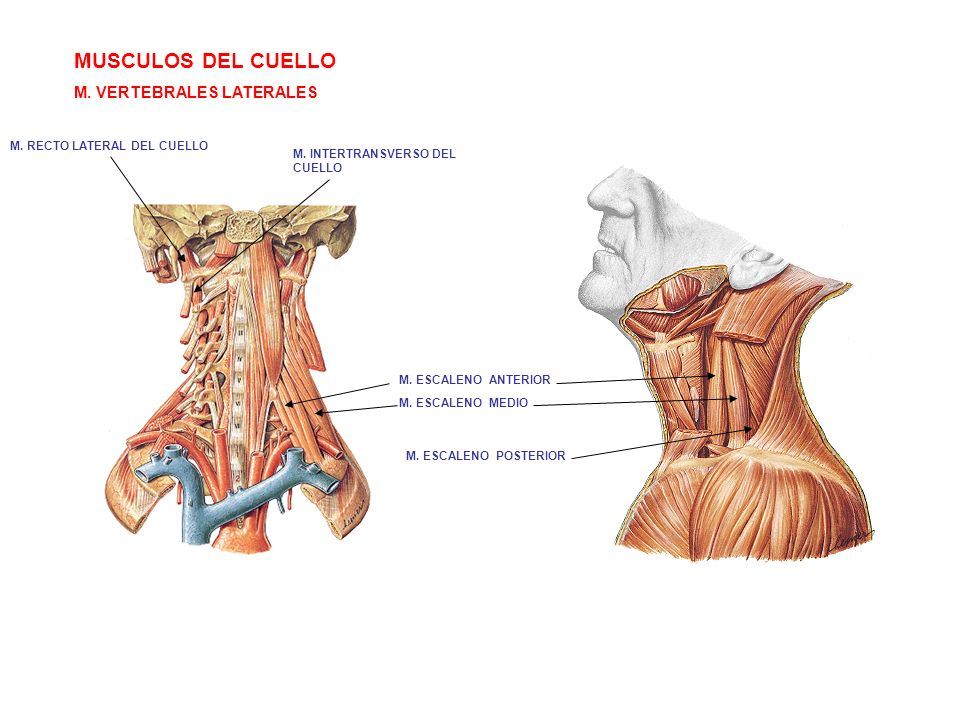MUSCULOS DEL CUELLO M. VERTEBRALES LATERALES
