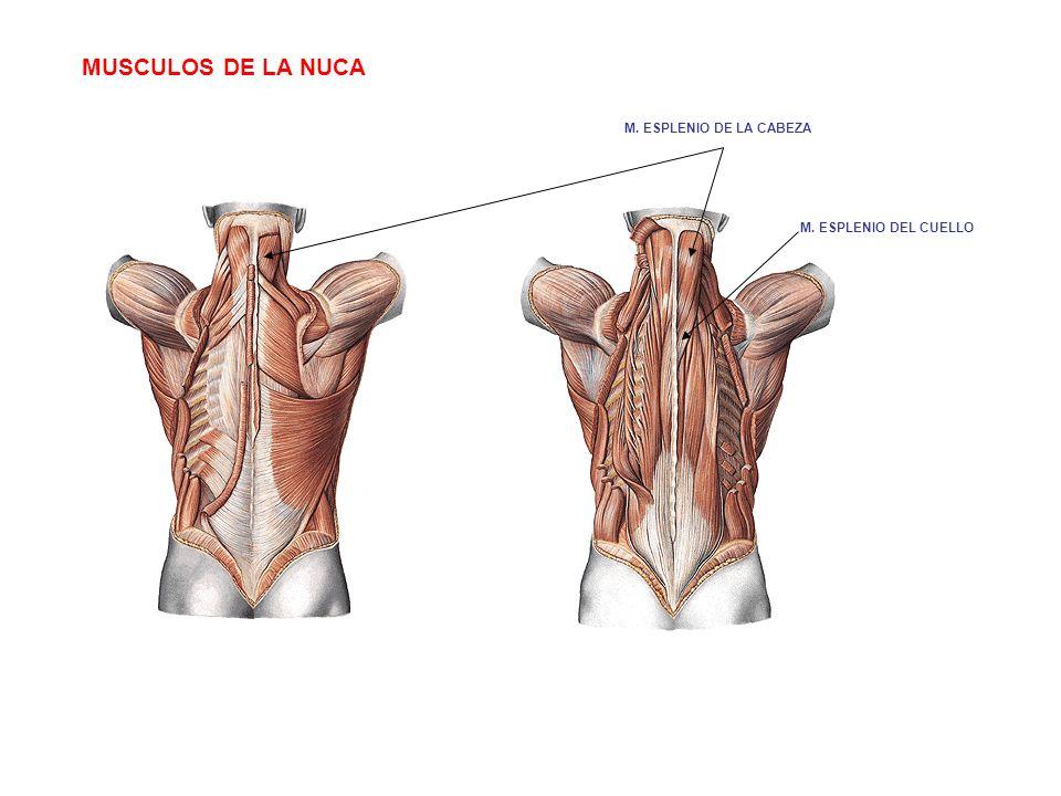 MUSCULOS DE LA NUCA M. ESPLENIO DE LA CABEZA M. ESPLENIO DEL CUELLO