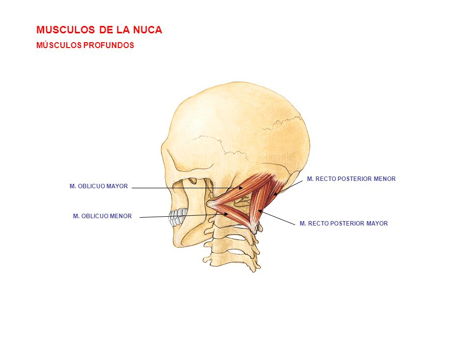MUSCULOS DE LA NUCA MÚSCULOS PROFUNDOS M. RECTO POSTERIOR MENOR