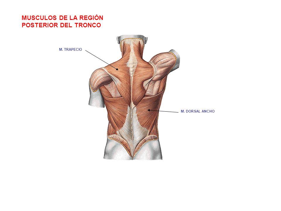 MUSCULOS DE LA REGIÓN POSTERIOR DEL TRONCO