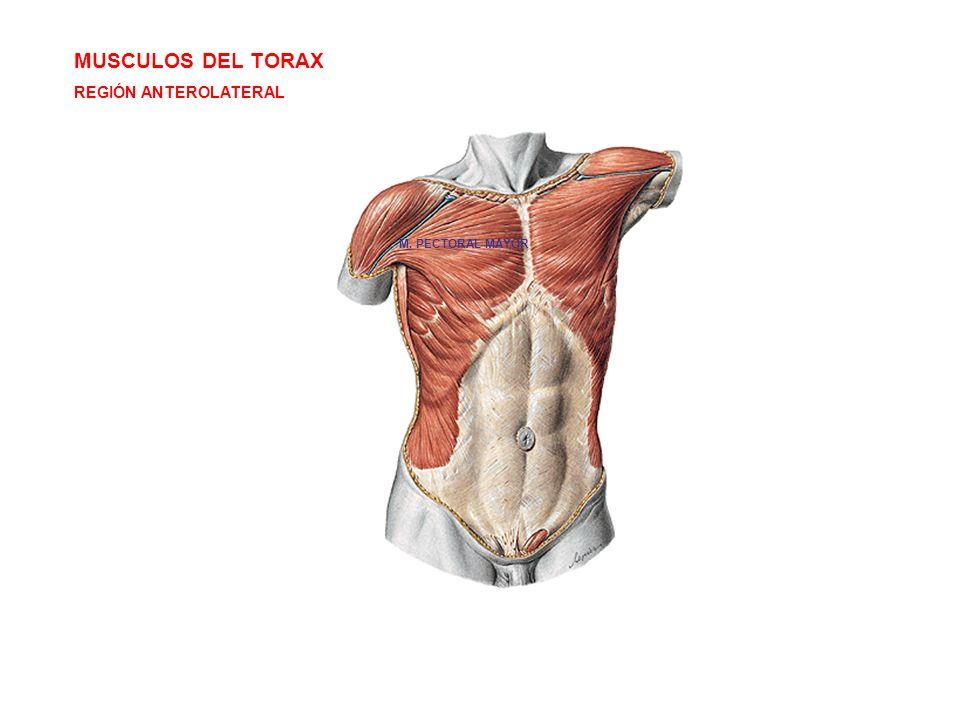 MUSCULOS DEL TORAX REGIÓN ANTEROLATERAL M. PECTORAL MAYOR