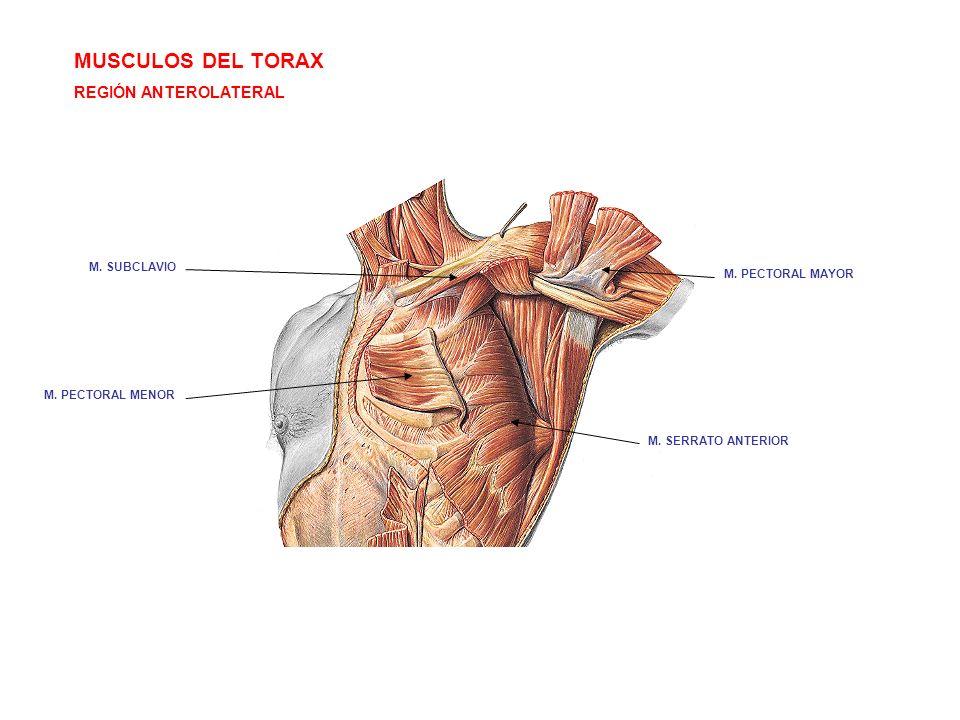 MUSCULOS DEL TORAX REGIÓN ANTEROLATERAL M. SUBCLAVIO M. PECTORAL MAYOR