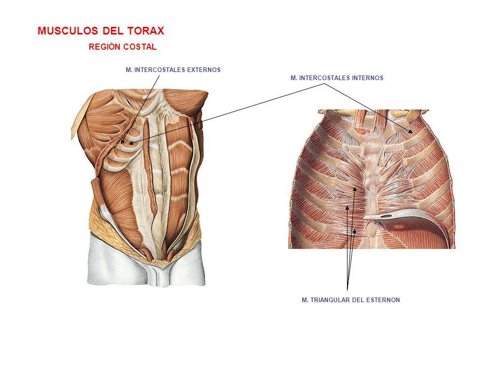 MUSCULOS DEL TORAX REGIÓN COSTAL M. INTERCOSTALES EXTERNOS