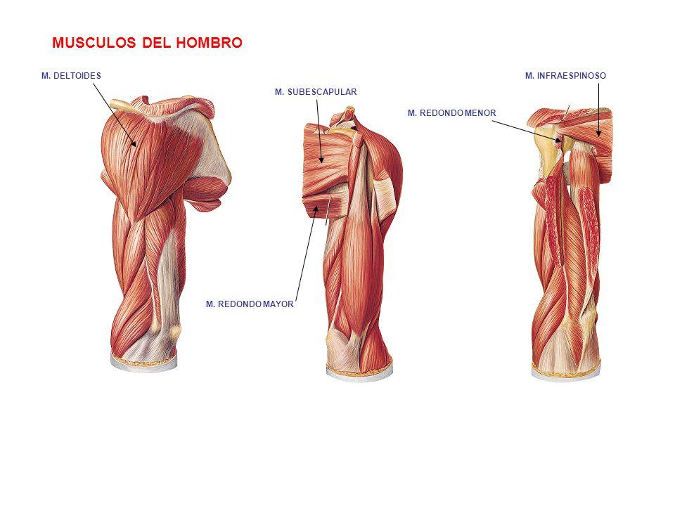 Fantástico Diagrama De Hombro Músculo Embellecimiento - Anatomía de ...