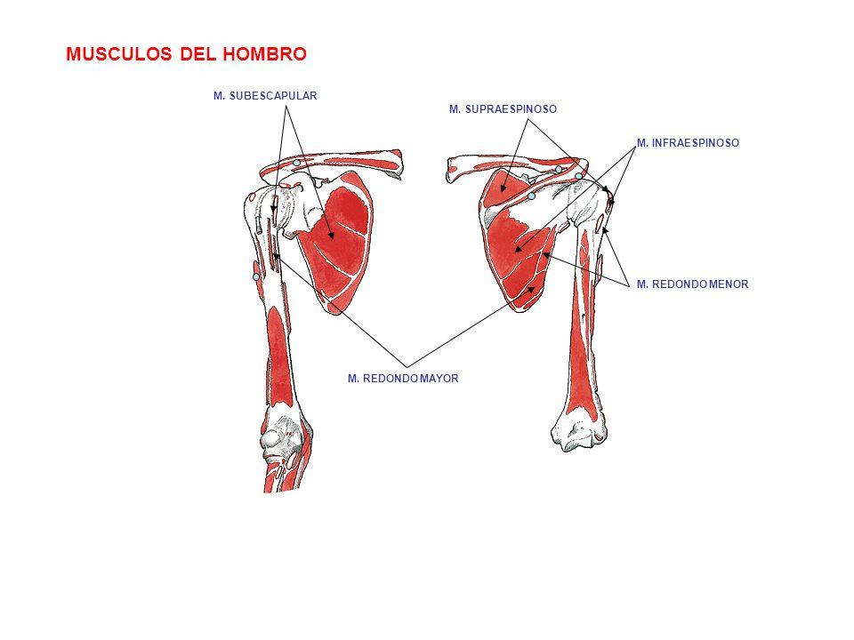 MUSCULOS DEL HOMBRO M. SUBESCAPULAR M. SUPRAESPINOSO M. INFRAESPINOSO