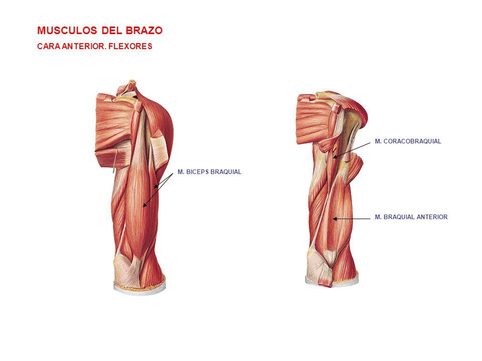 MUSCULOS DEL BRAZO CARA ANTERIOR. FLEXORES M. CORACOBRAQUIAL