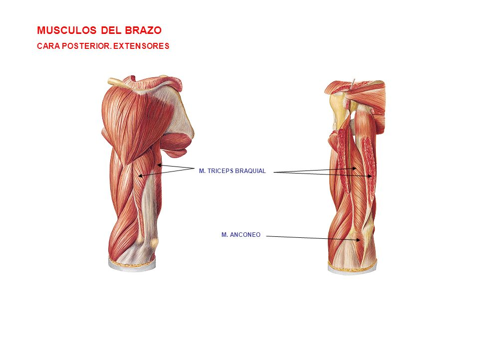 MUSCULOS DEL BRAZO CARA POSTERIOR. EXTENSORES M. TRICEPS BRAQUIAL