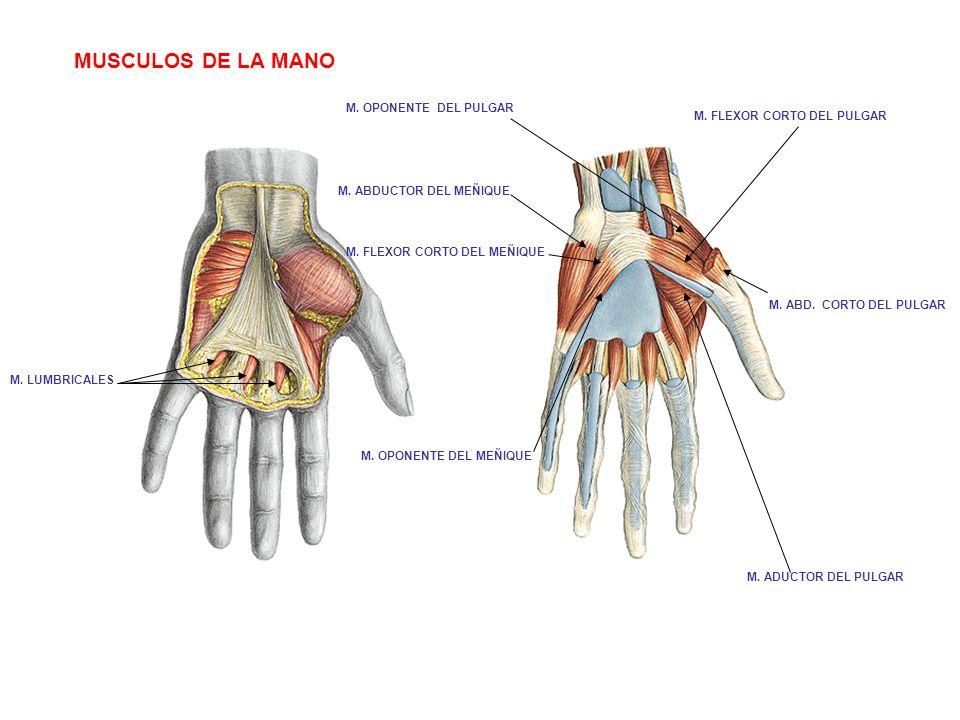 Contemporáneo Pulgar Anatomía Muscular Cresta - Anatomía de Las ...