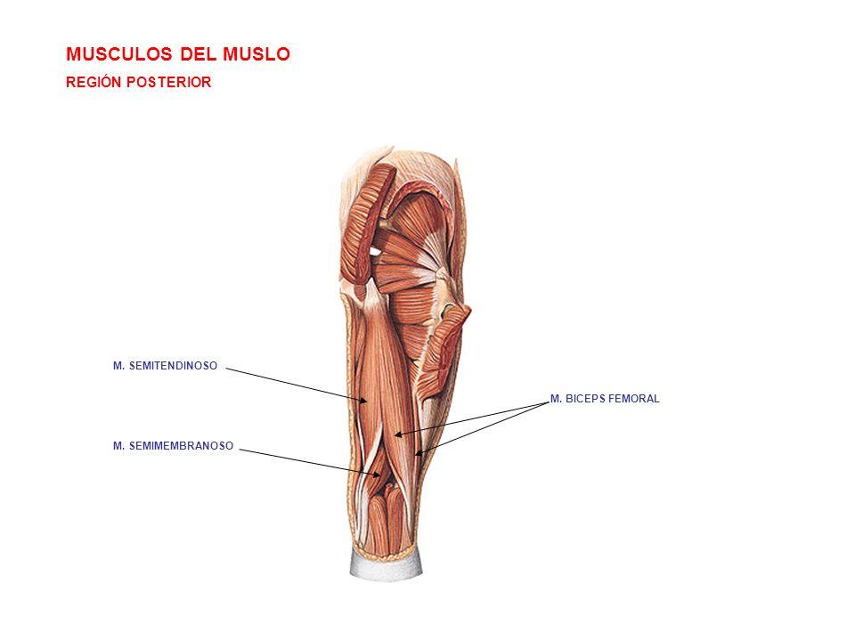 Contemporáneo Músculos Posteriores Del Muslo Anatomía Regalo ...