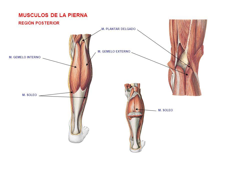 MUSCULOS DE LA PIERNA REGIÓN POSTERIOR M. PLANTAR DELGADO