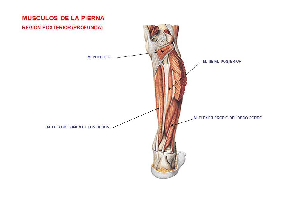 MUSCULOS DE LA PIERNA REGIÓN POSTERIOR (PROFUNDA) M. POPLITEO