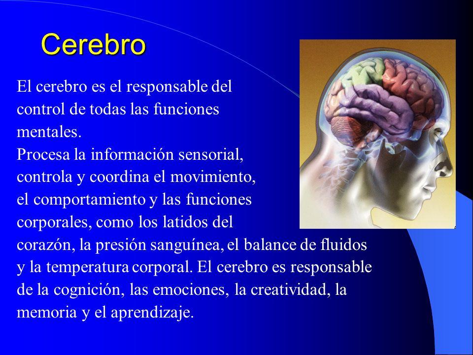 Cerebro El cerebro es el responsable del