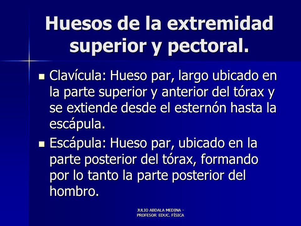 Huesos de la extremidad superior y pectoral.