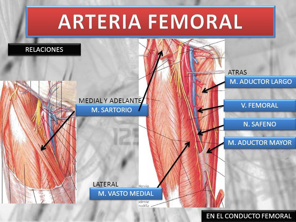 ARTERIA FEMORAL RELACIONES ATRAS M. ADUCTOR LARGO MEDIAL Y ADELANTE