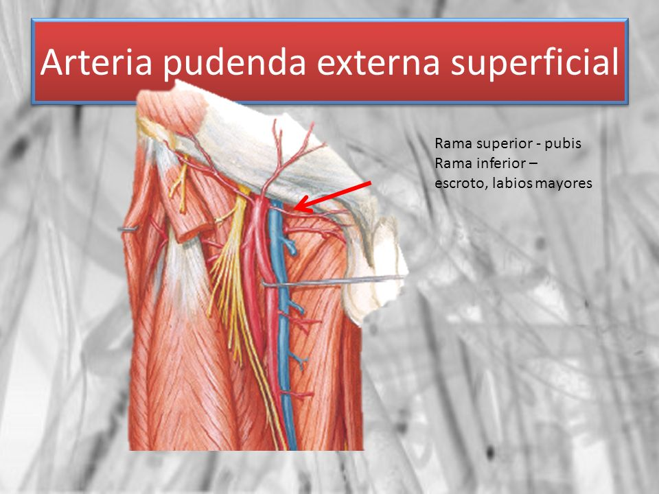 Arteria pudenda externa superficial