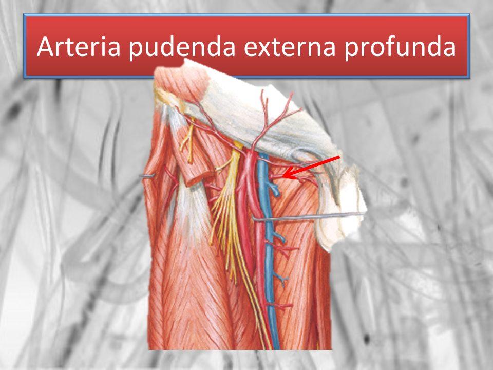 Arteria pudenda externa profunda