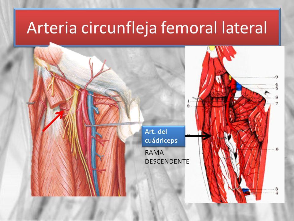 Arteria circunfleja femoral lateral
