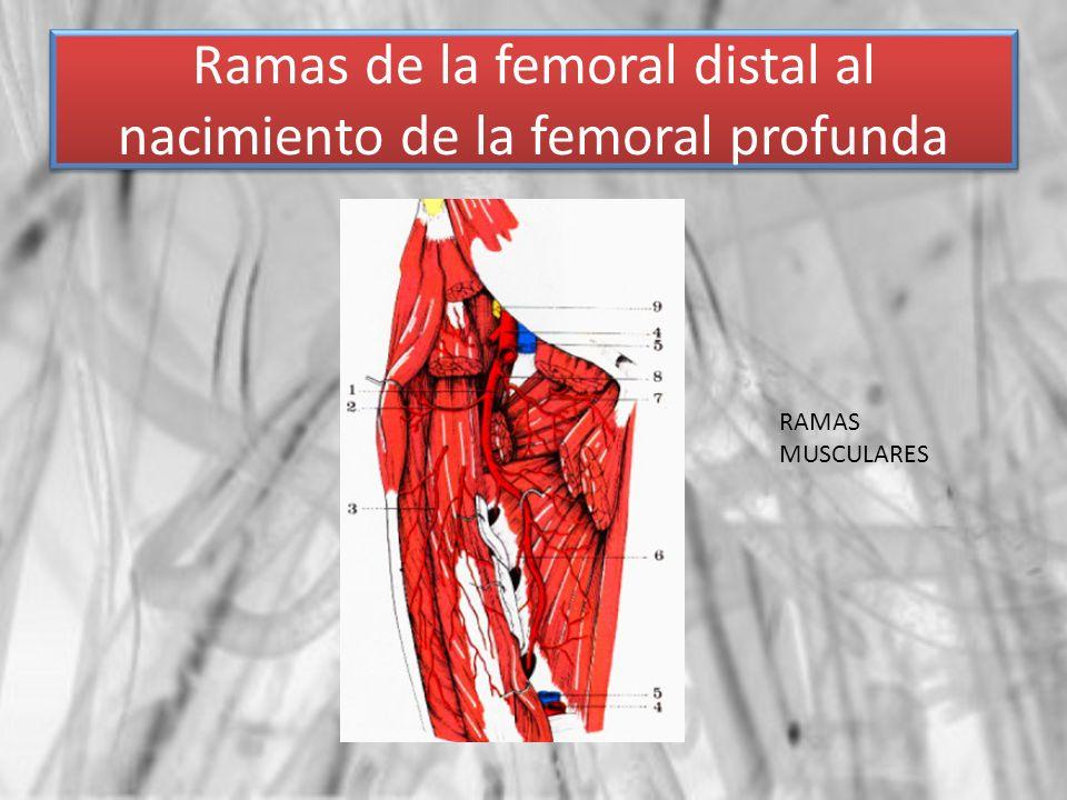 Ramas de la femoral distal al nacimiento de la femoral profunda