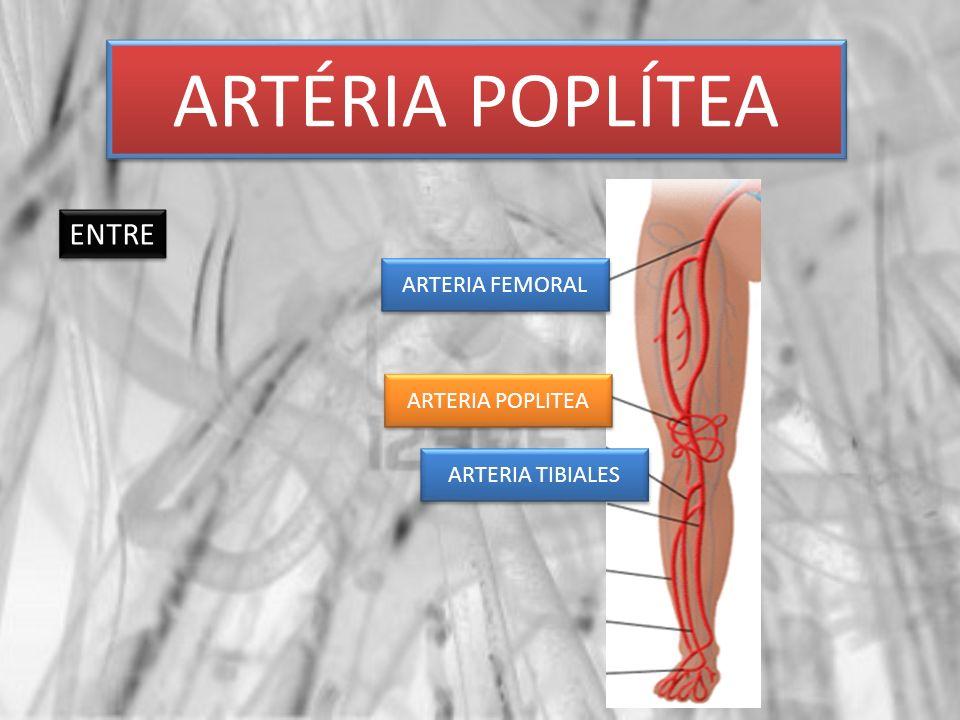 ARTÉRIA POPLÍTEA ENTRE ARTERIA FEMORAL ARTERIA POPLITEA