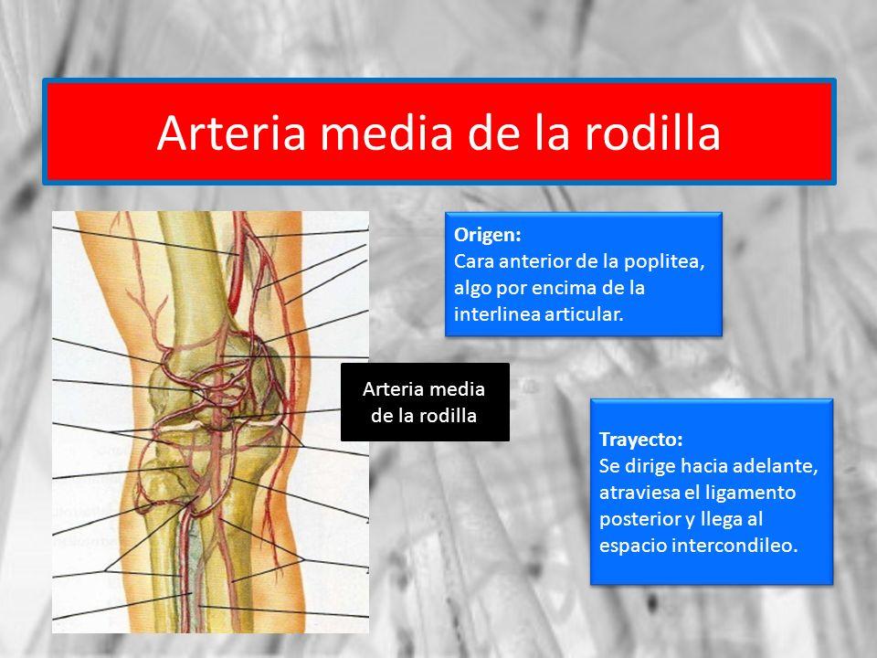 Arteria media de la rodilla