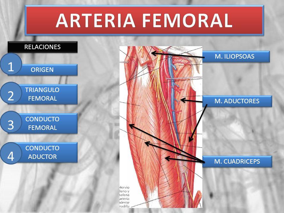 ARTERIA FEMORAL 1 2 3 4 RELACIONES M. ILIOPSOAS ORIGEN