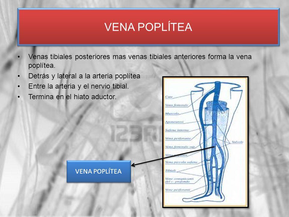 VENA POPLÍTEA Venas tibiales posteriores mas venas tibiales anteriores forma la vena poplítea. Detrás y lateral a la arteria poplítea.