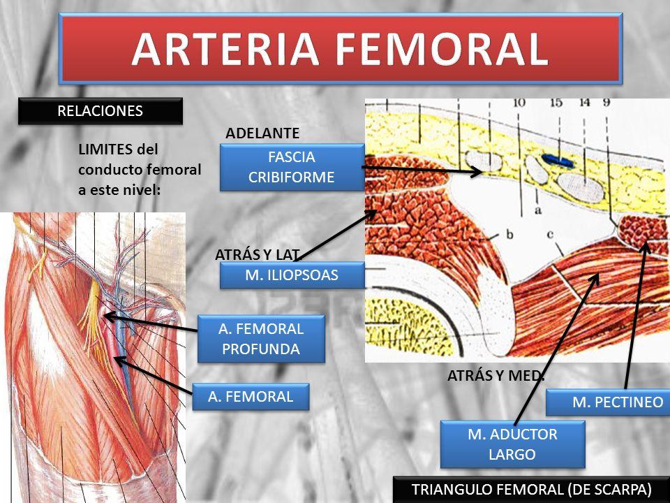 TRIANGULO FEMORAL (DE SCARPA)