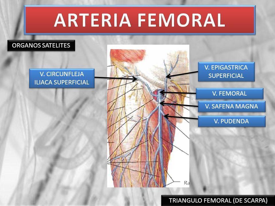 ARTERIA FEMORAL ORGANOS SATELITES V. EPIGASTRICA SUPERFICIAL