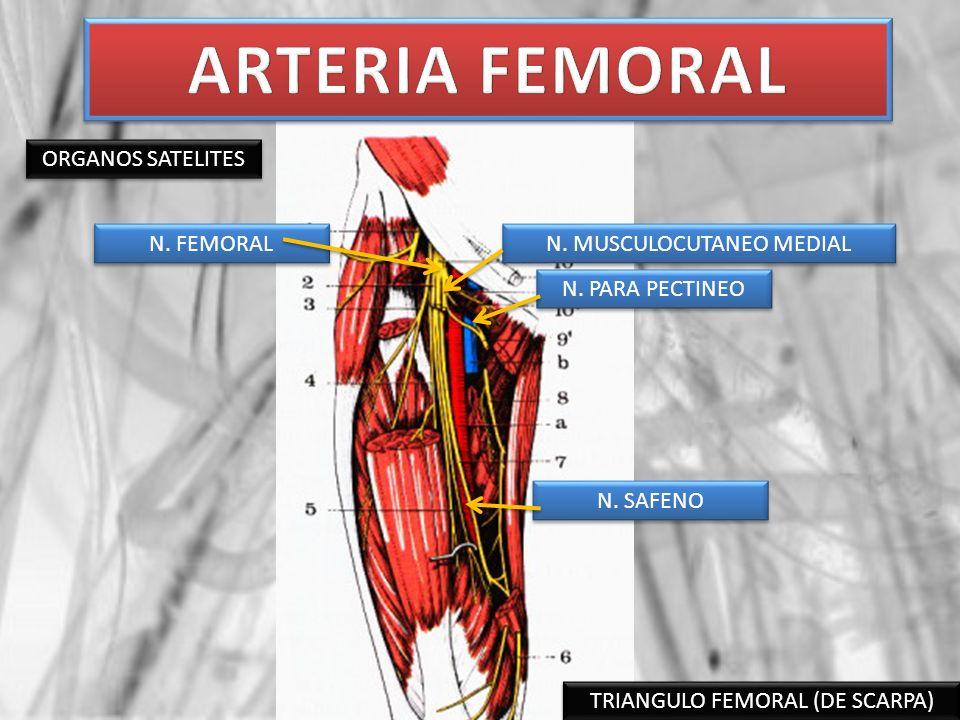 ARTERIA FEMORAL ORGANOS SATELITES N. FEMORAL N. MUSCULOCUTANEO MEDIAL