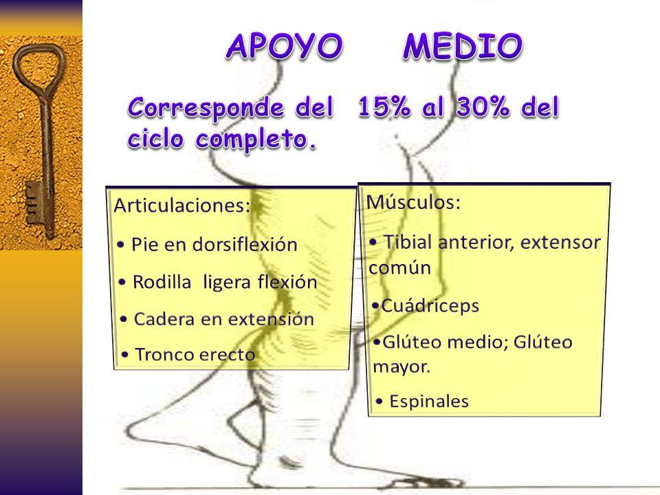 APOYO MEDIO Corresponde del 15% al 30% del ciclo completo. Músculos: