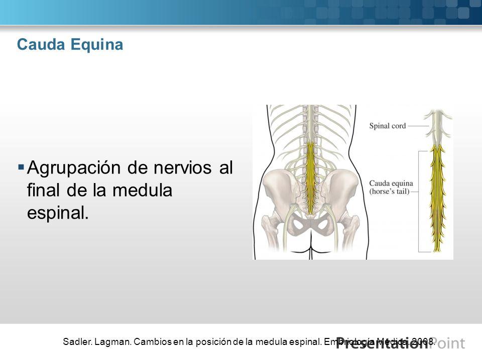 Agrupación de nervios al final de la medula espinal.