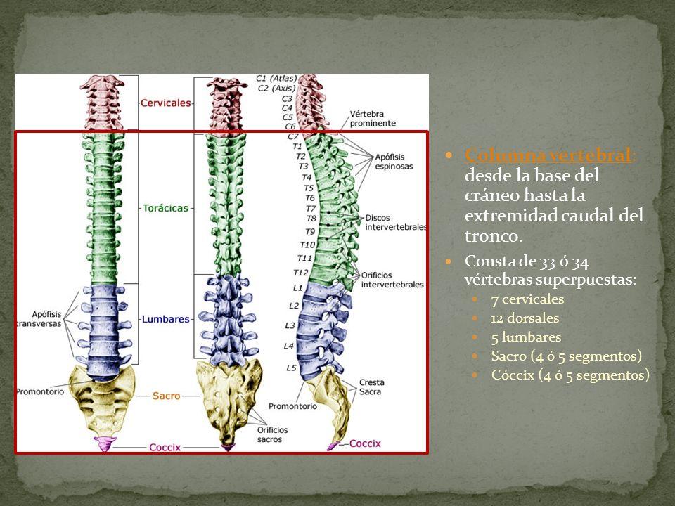 Columna vertebral: desde la base del cráneo hasta la extremidad caudal del tronco.