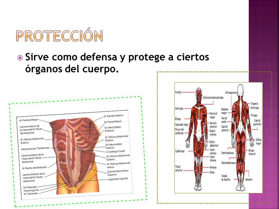 Protección Sirve como defensa y protege a ciertos órganos del cuerpo.