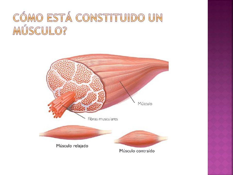 Cómo está constituido un músculo