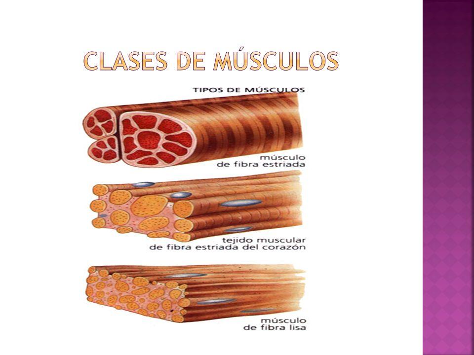 Clases de músculos