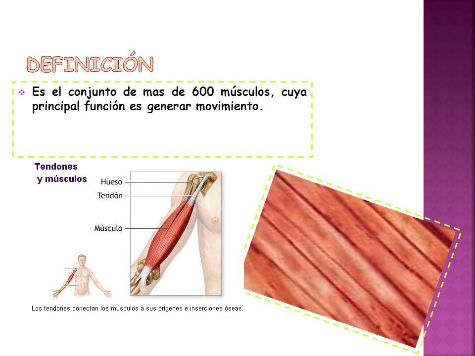 Definición Es el conjunto de mas de 600 músculos, cuya principal función es generar movimiento.