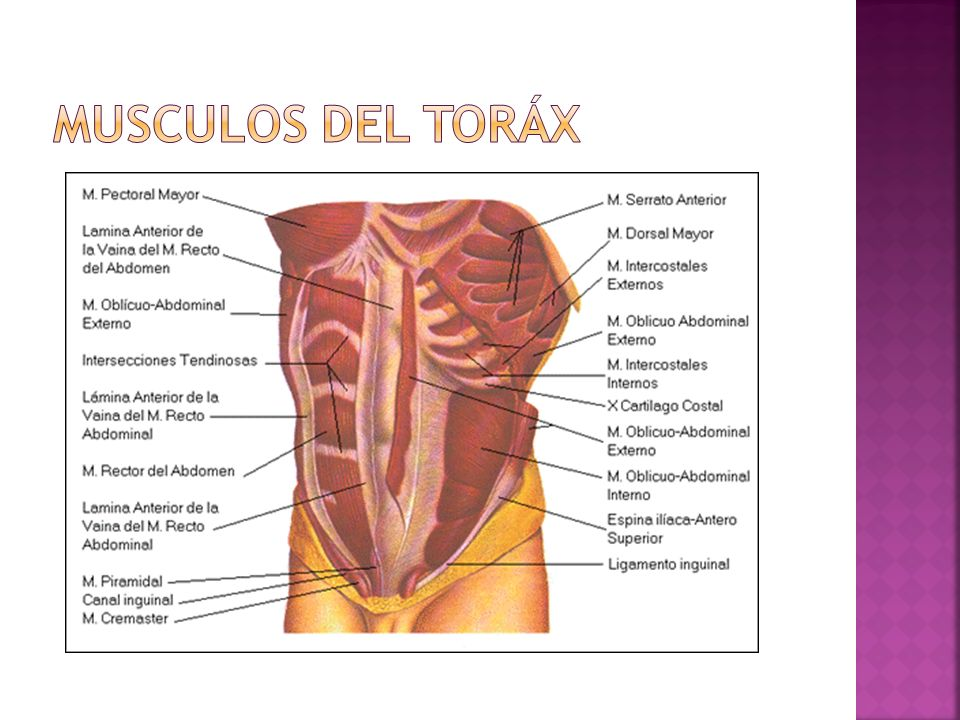 Musculos del Toráx