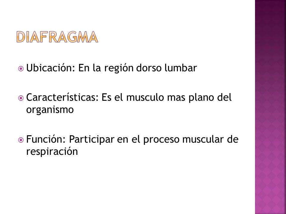 Diafragma Ubicación: En la región dorso lumbar