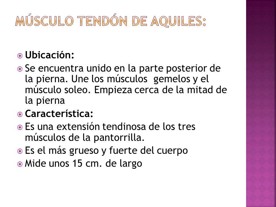 Músculo Tendón de Aquiles: