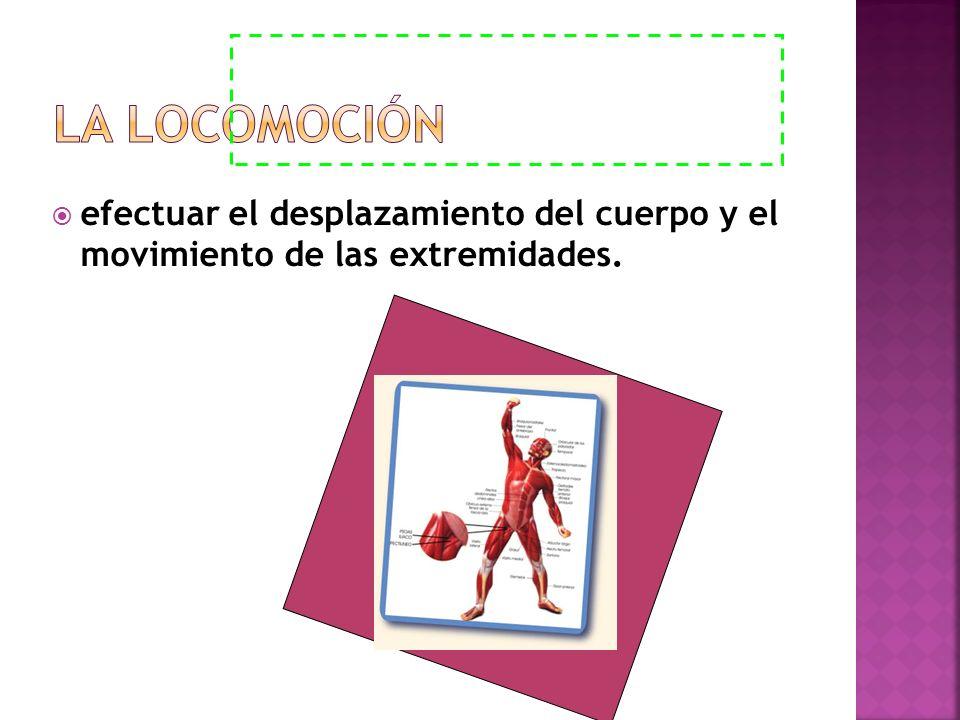 La Locomoción efectuar el desplazamiento del cuerpo y el movimiento de las extremidades.