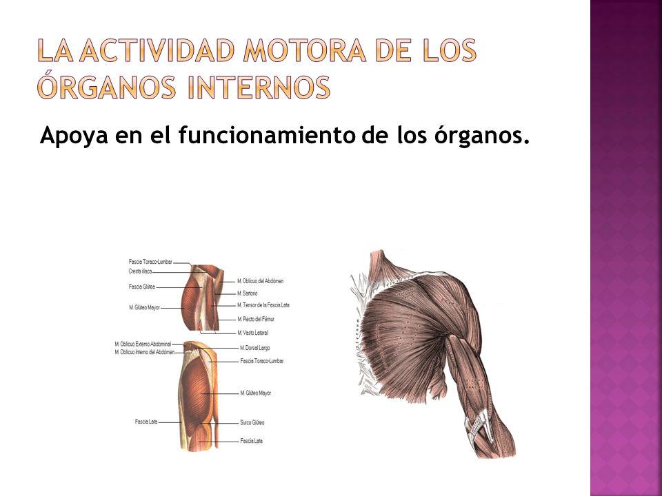 La Actividad motora de los órganos internos
