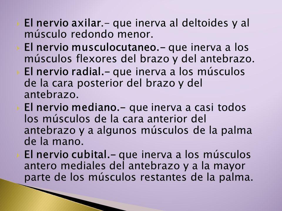 El nervio axilar.- que inerva al deltoides y al músculo redondo menor.