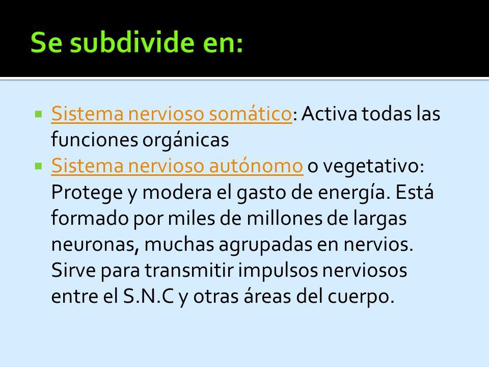 Se subdivide en: Sistema nervioso somático: Activa todas las funciones orgánicas.