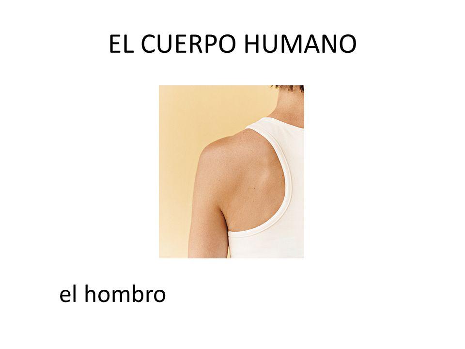 EL CUERPO HUMANO el hombro